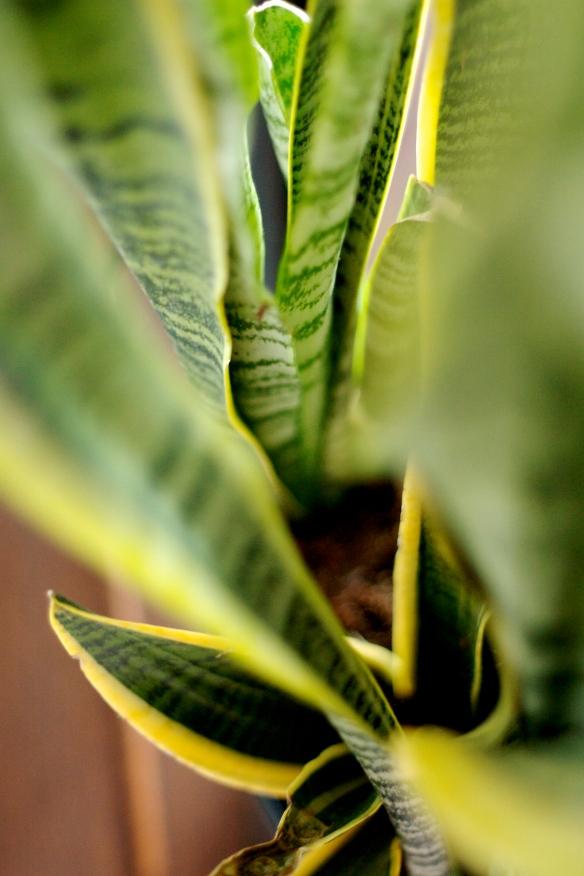 snake plant leaves
